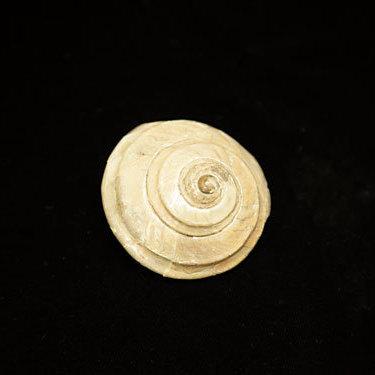 Fossilized mollusk seattle urdnwr