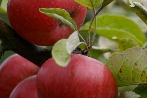 Apples tqldhb