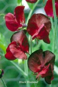 sweet pea Black Diamond