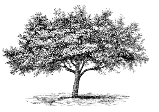Apple tree ghopfi