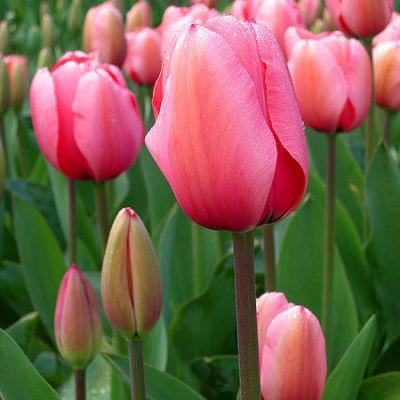 04 13 tulips h7yzl4