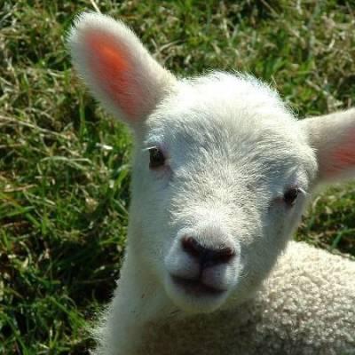 Lamb cjfaeg
