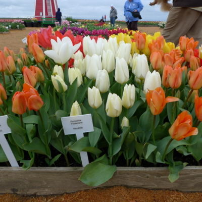 Tulips labeled  myp6dx