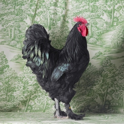 2667  630x500 black langshan cockerel db1vft