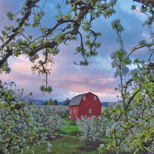 Orchards qhoyps