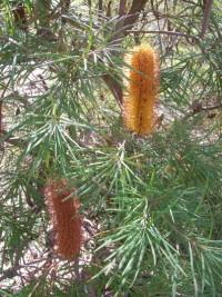 banksia spinulosa v collina