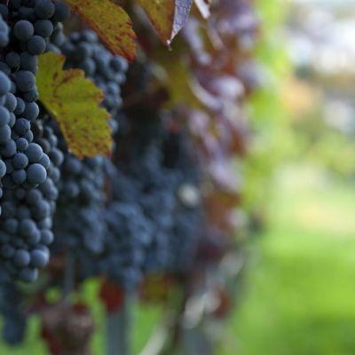Gyuszko photo pinot noir wine grapes btkarl
