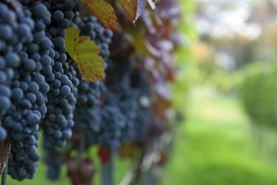 Gyuszko photo pinot noir wine grapes btkarl