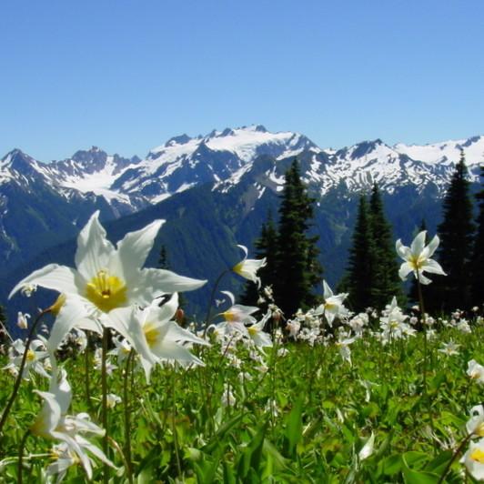 Avalanche lillies z9wyr3