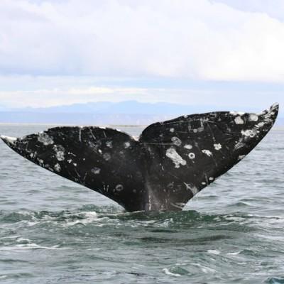 Gray whale james michael dorsey zoxwyb
