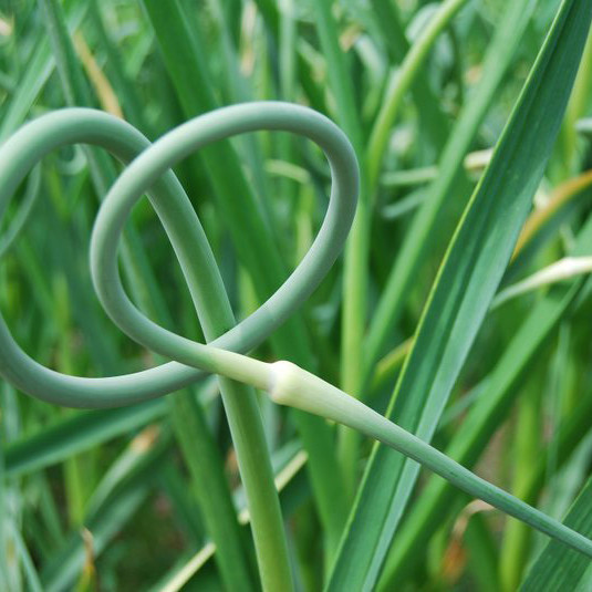 Garlic scapes curly green opeqwc