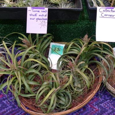 Baskets of bromeliads tw7rbh