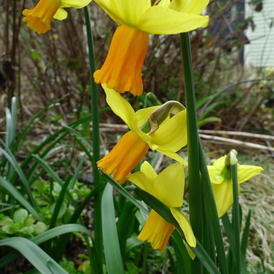 Narcissus jetfire ossll3