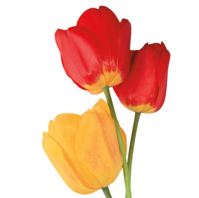 0513 do this now tulips ushien