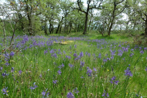 A Sea of Blue: Camassia Natural Area