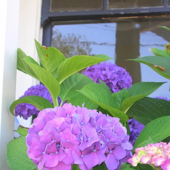 Purple hydrangea mac jhsvjl