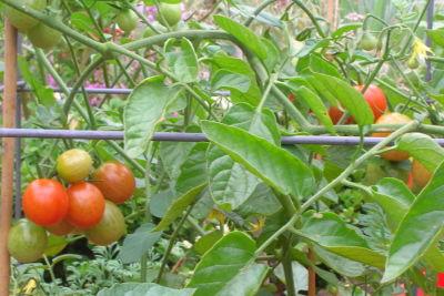 Tomatoes  zrofk3