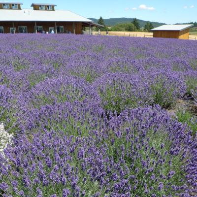 Willakenzie lavender farm fnyrgm