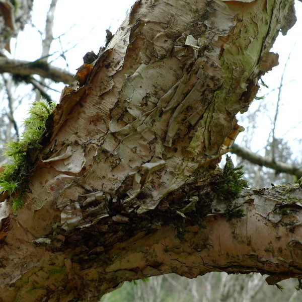Himalayan birch bark ginejs