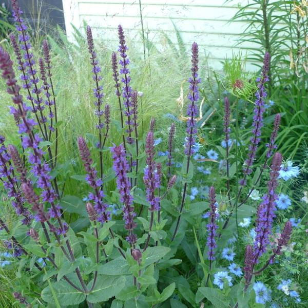 Salviacaradonna yeloox