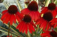 Echinacea Firebird