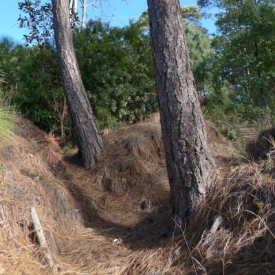 Pine trunks w tillandsia pbzle5