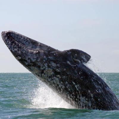 Grey whales sammons lagoon fxw7sf