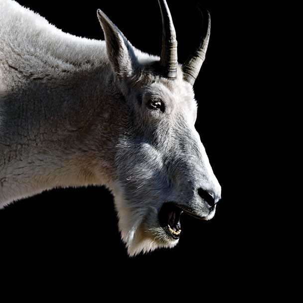 Goat tdecer