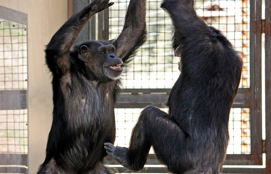 Chimps In Captivity Which Can Live To Up 60 Years Have Learned As Many 800 Words American Sign Language 1995 Roger Fouts The Primatologist: Chimp Full Sheet Set At Alzheimers-prions.com