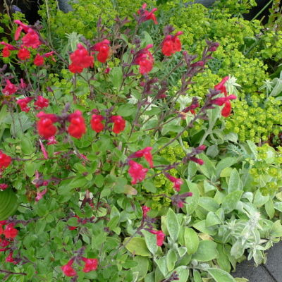 Salvia greggii woycjc