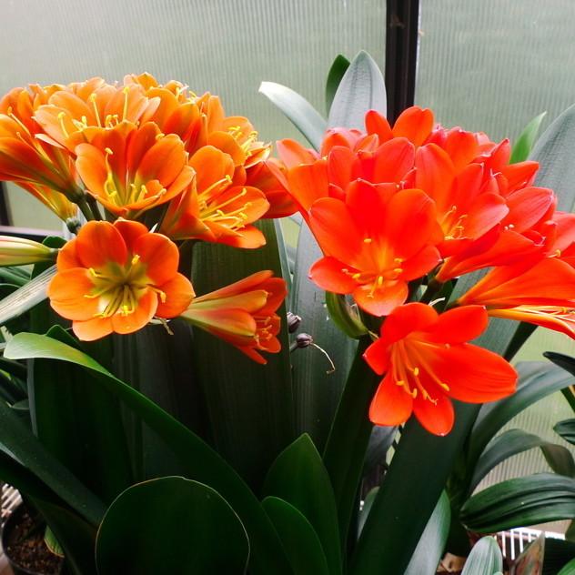 Clivias prettiest oranges ld2m6r