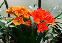 Clivia prettiest oranges