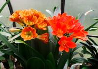 Clivia prettiest oranges