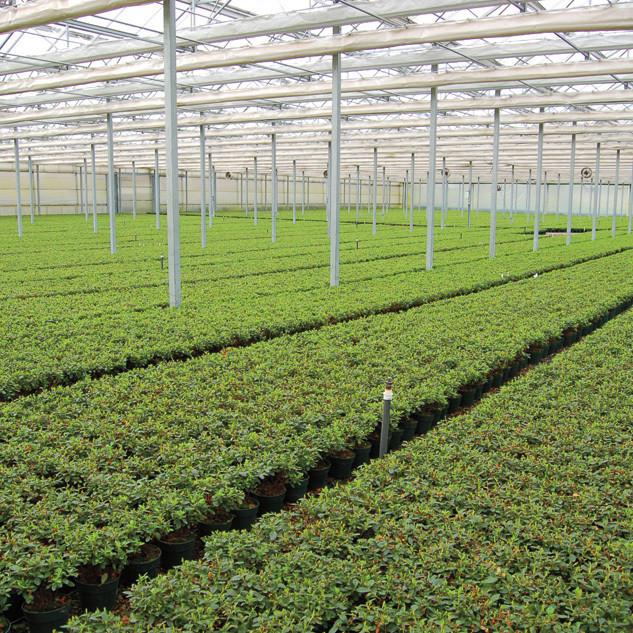 Woodburn nursery azaleas zawdg6