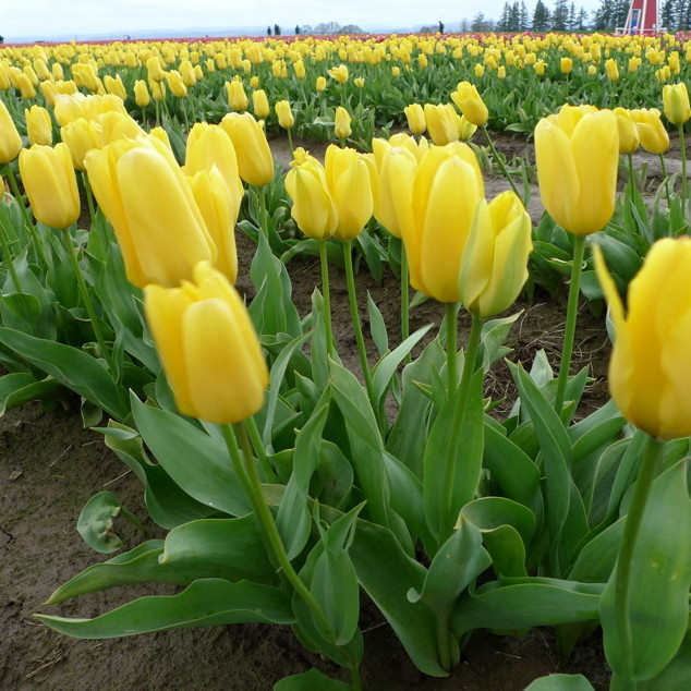 Candela yellow tulip ywzuqf
