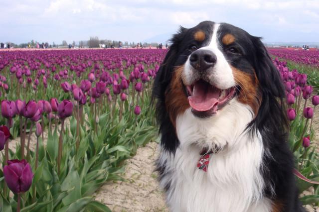 Tulip festivus 06la v786dr
