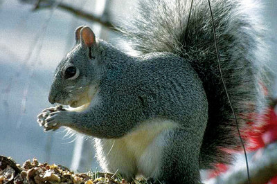 0609 mud squirrel an0abc