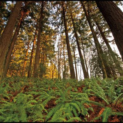 Forest park ferns trees uv4ru6