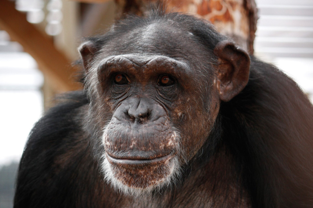 The Chimps Looked Terrible Pale From Lack Of Sun Exposure Muscles Atrophied Living In Confined Spaces They Blinked At Their New Surroundings: Chimp Full Sheet Set At Alzheimers-prions.com