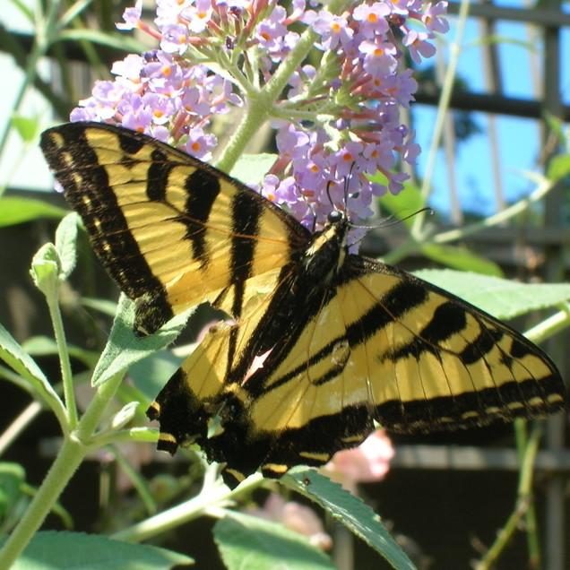 Butterfly mcidu5