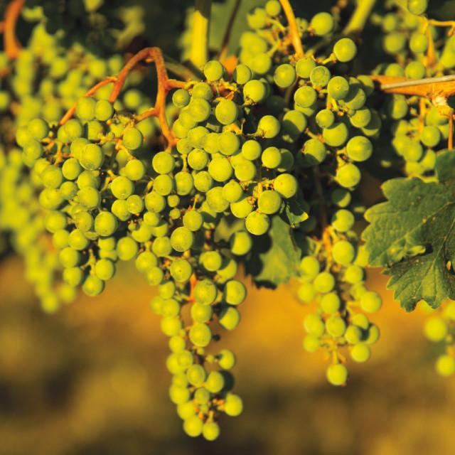 0913 amavi cellars grapes eydx9p