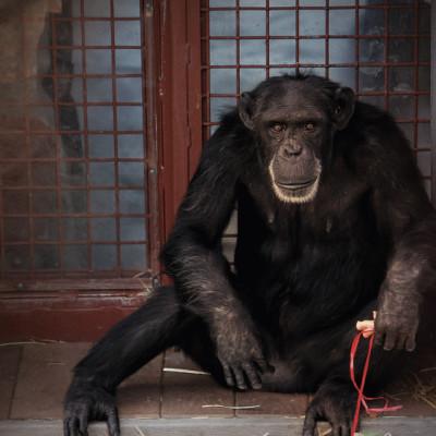 1112 chimpanzee sanctuary opener let8vk