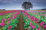 Thumbnail for - The Wooden Shoe Tulip Farm's Bloom Boom