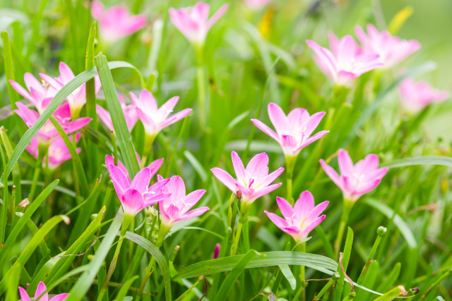 Lillies pink zephyranthes seksan panpinyo hioaes