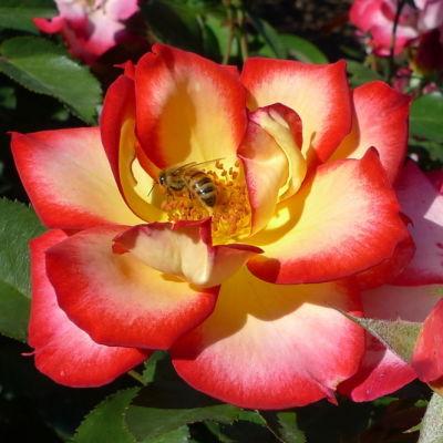 Bee on rose ciydat