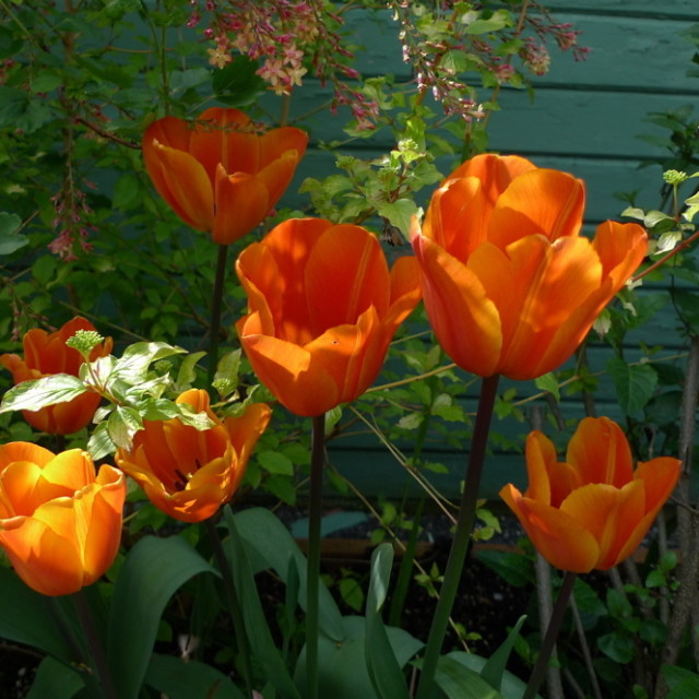 Tulip annie schilder ftxjut