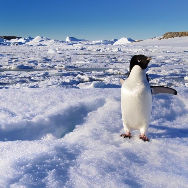 Penguin antarctica afcivh