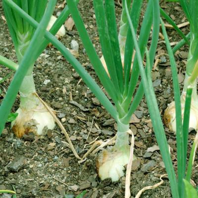 5.13 walla walla onions ef7loj
