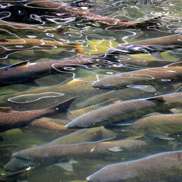 Salmon run jennifer nicole buchanan paqdth