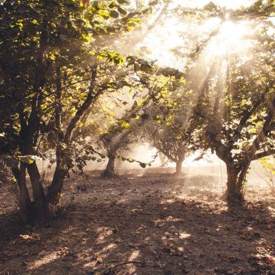 0113 hazelnut orchard qbsoxy